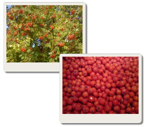 torka rönnbär i ugn
